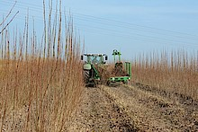 Poplar harvest with Rod Picker